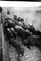 Herding cattle inorder to select those to sell